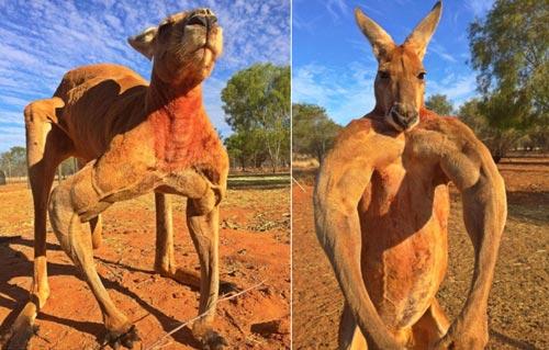 Kisah Viral Kangguru Berotot Dari Australia Yang Bernama Roger