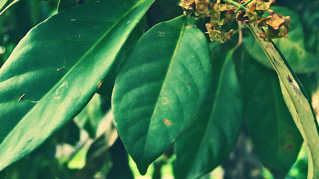 Syzygium Polyanthum Leaves Benefits