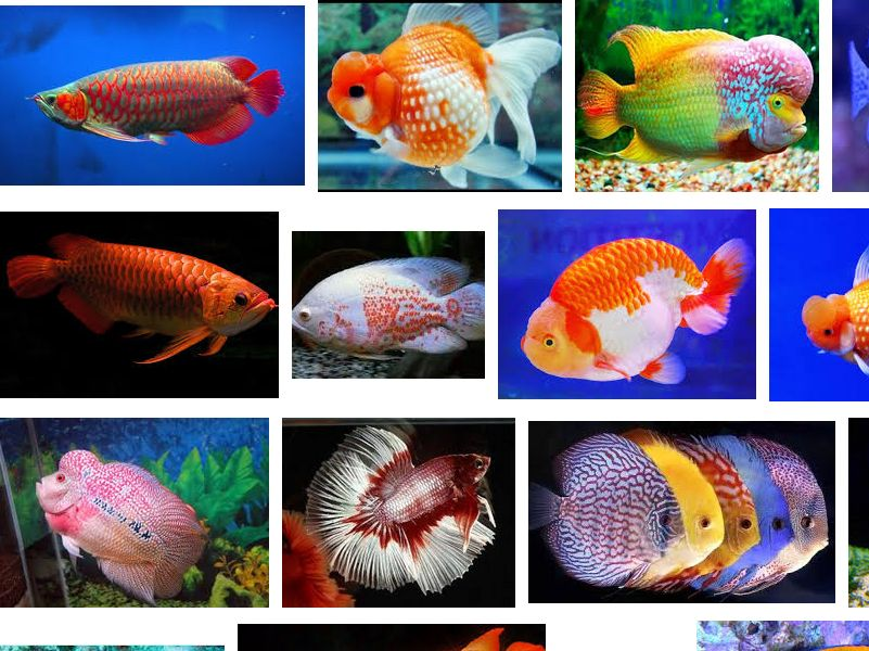 Ikan Hias Termahal di Indonesia