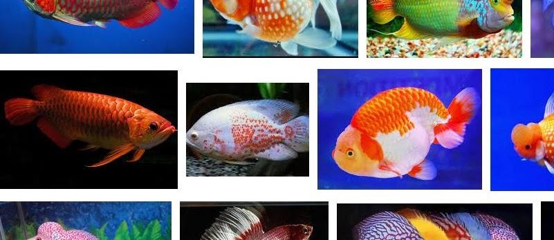 Ikan Hias Termahal di Indonesia Sekarang Ini