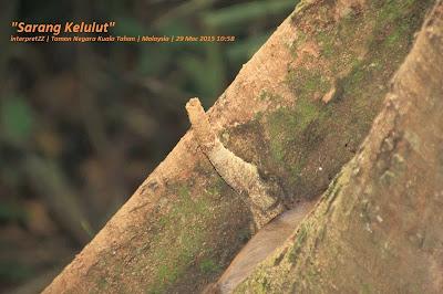 Gambar sarang kelulut di Taman Negara Malaysia di Kuala Tahan