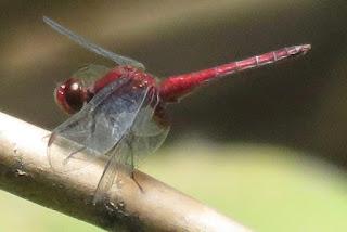 Miathyria simplex, Red Glider
