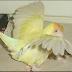 Cara Mengobati Burung Lovebird Yang Terkena Penyakit Lumpuh