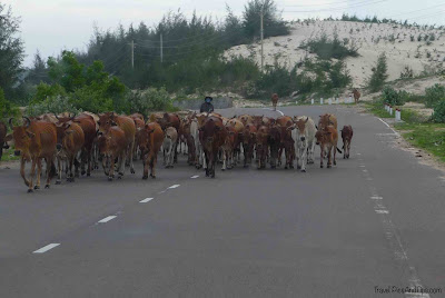 Animals cattle on the road in Mui Ne in Vietnam