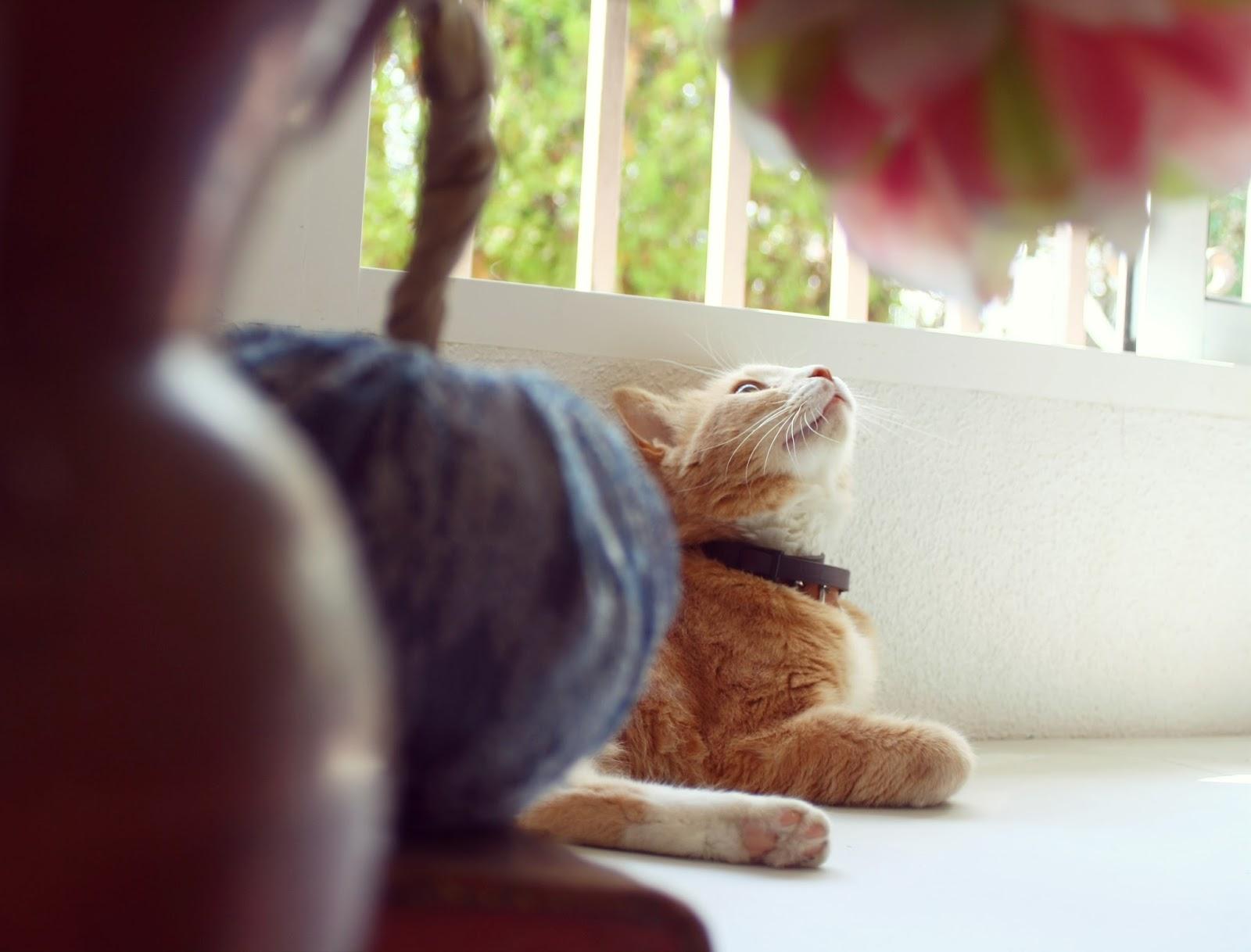 Gato rojizo acostado al lado de una ventana