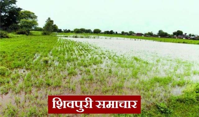 अब वर्षा बन रही हैं खेतो में खडी जिंदा फसलो की हत्यारिन,उडद मूंग और सोयाबीन की फसले खराब | Shivpuri News