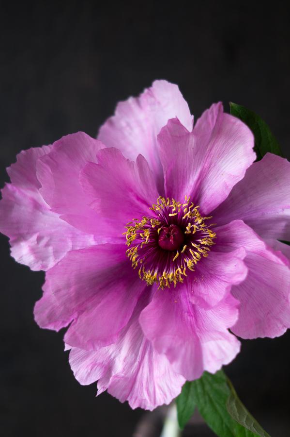 Blog + Fotografie by it's me! | fim.works | Bunt ist die Welt | Blumen | rosa-fliederfarbene Bauernpfingstrose vor dunklem Hintergrund
