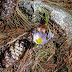 Crocus plant - Medicinal Plants in Macedonia