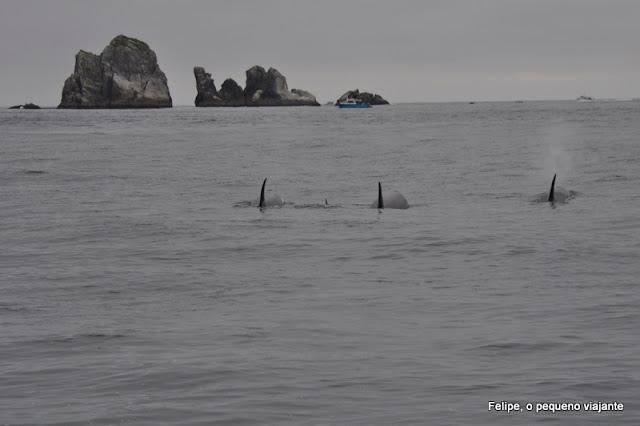 orca_whale