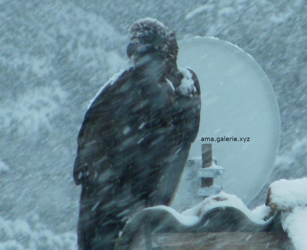 Nestor le vautour photographié par Ama artiste à Vergons
