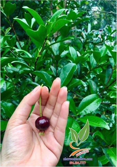 cây cherry brazil đang ra bông tại nhà vườn khánh võ