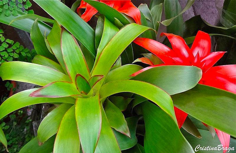 Bromélias (Bromeliaceae)
