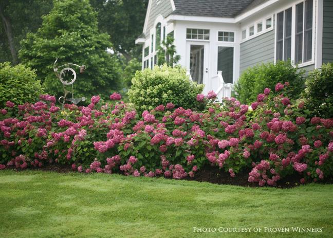 Three Dogs In A Garden The New Dwarf Hydrangeas