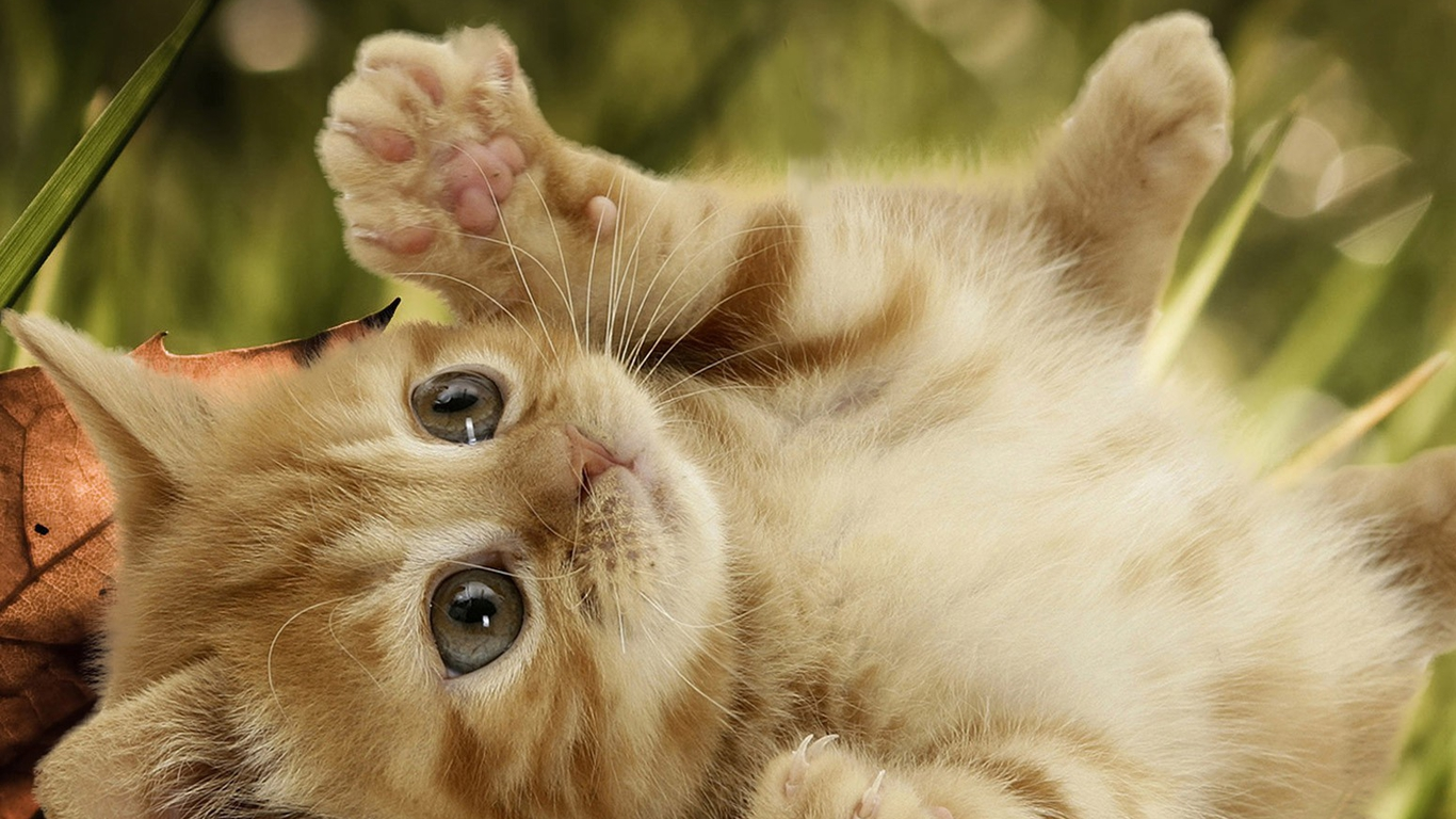 Cute cat wallpaper hd cat wallpaper - Kitten backgrounds ...