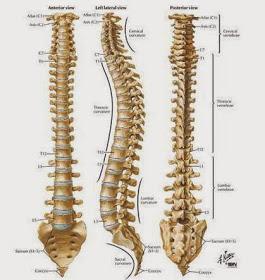 Tulang ekor
