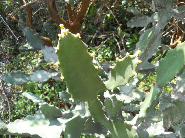 Cây Xương Rồng - Euphorbia antiquorum - Nguyên liệu làm thuốc Chữa bệnh Mắt Tai Răng Họng