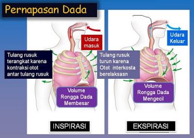 Proses Mekanisme Pernapasan Dada