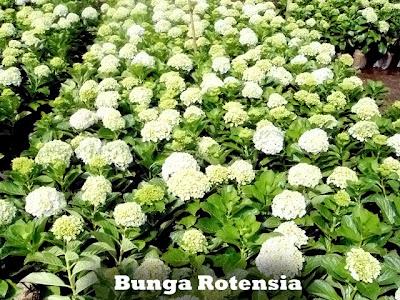 BUNGA ROTENSIA | JUAL BUNGA | TUKANG TAMAN