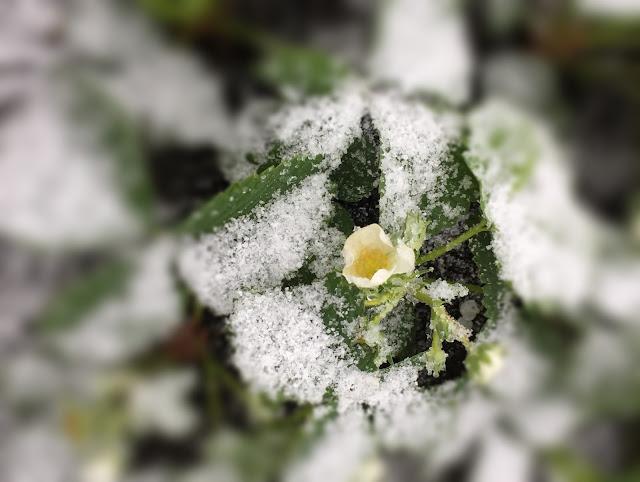 Erdbeerblüte im Schnee