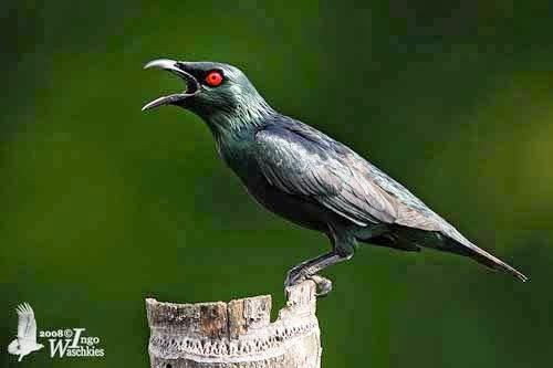 Kumpulan Foto Burung Cucak Keling Jantan Foto Burung Kicau
