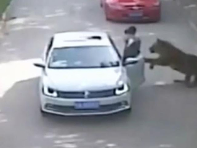 Watch: Two Woman Attack by Tigers in China