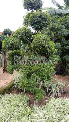 Jual Pohon Bonsai Serut | Bonsai Serut Murah | Jasa Tukang Taman dibogor