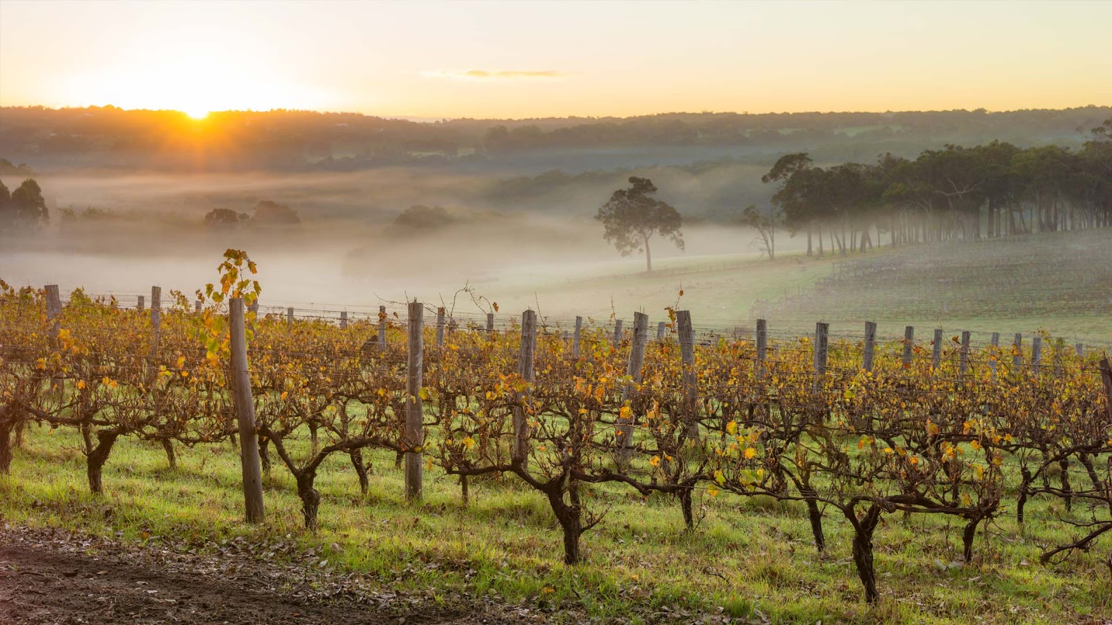 Dawn in the vineyards near Margaret River, Australia © Nick Rains/Corbis NX/Getty Images