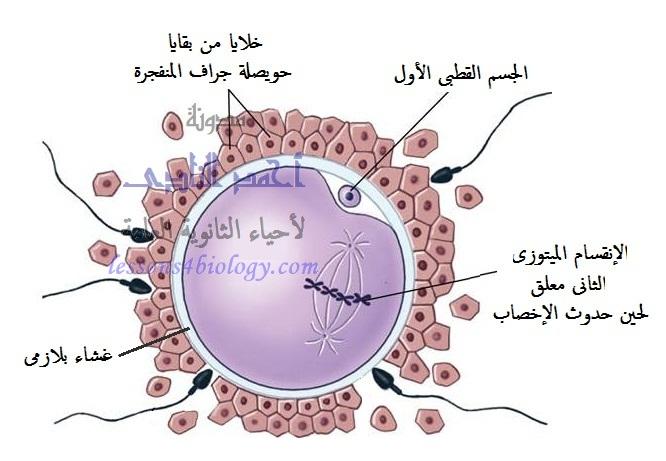 مراحل تكوين البويضة فى الإنسان