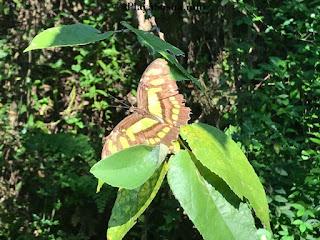 Sosua batterfly