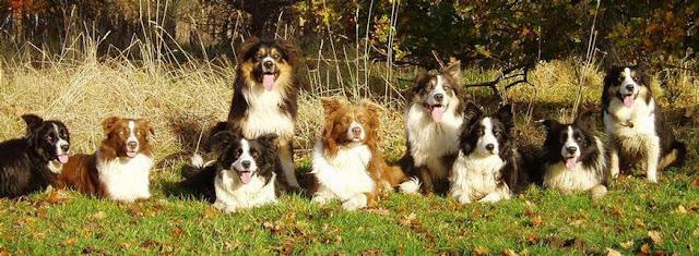 Border Collie Dog breed behaviour