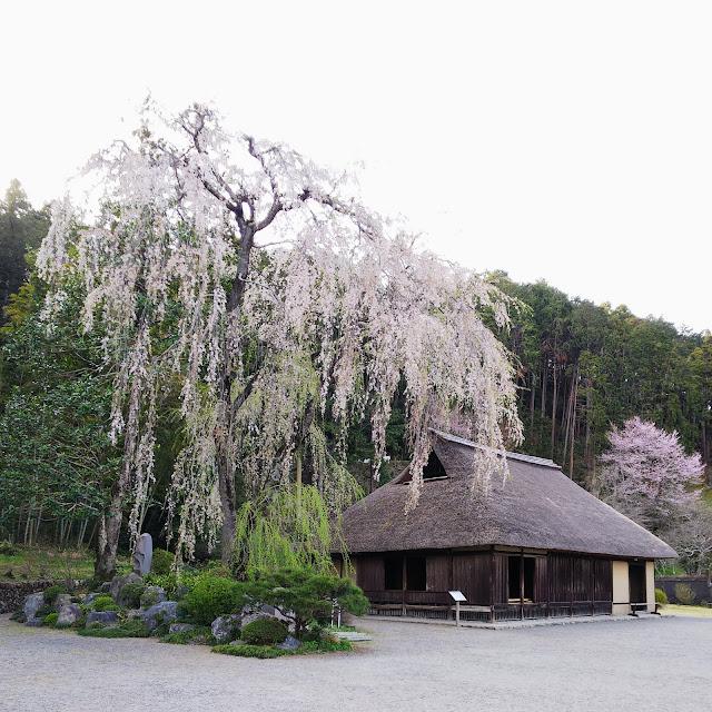 高麗家住宅 枝垂れ桜