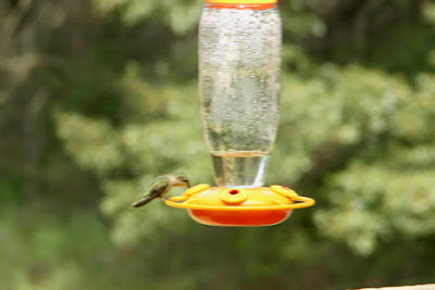 ruby-throated hummingbird--female?, young-of-year?