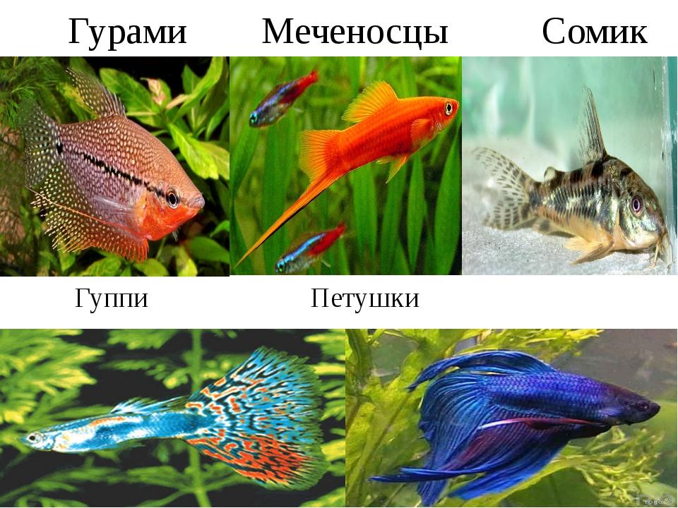 Виды домашних рыбок в картинках большинство