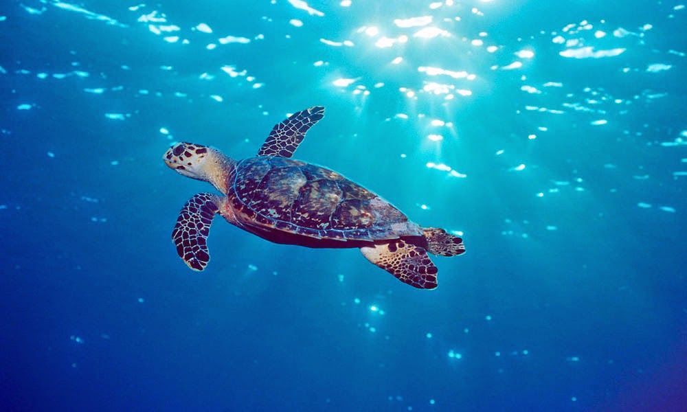 aquatic animal This is a list of national animals national animals country name of animal scientific name pictures ref.