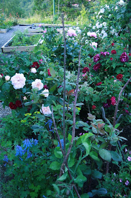 david austin roses evelyn tuscany superb