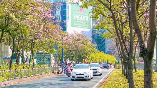 Có một Sài Gòn mộng mơ mùa hoa kèn hồng nở rộ - Ảnh 4