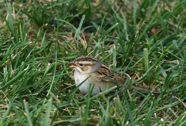 Clay-colored Sparrow in San Diego