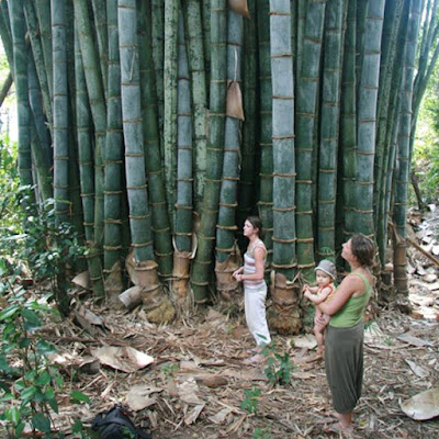 the tallest and biggest bamboo tree