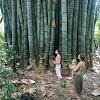 Giant dragon bamboo (dendrocalamus sinicus)
