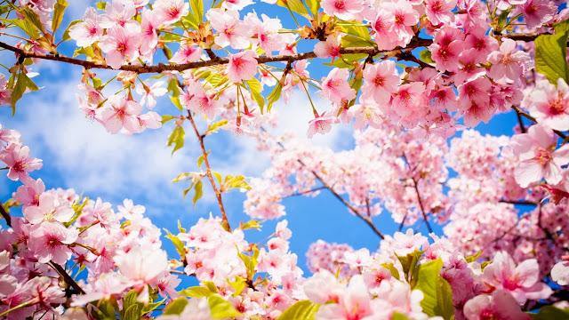 Hình nền hoa đào tết đẹp nhất 2017