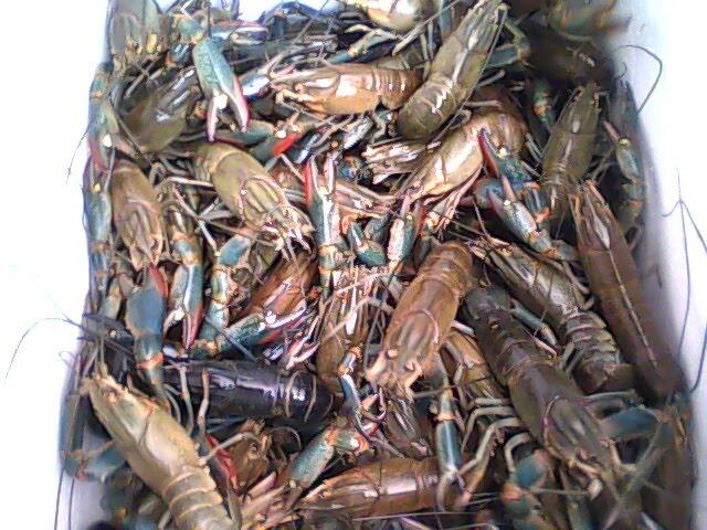 Budidaya Lobster Air Tawar Mydokterhewan