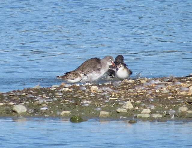 Semipalmated Sandpiper and Little Stint - Titchfield Haven, Hampshire