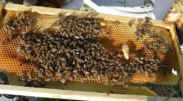 Πως σώζουμε το αρρενοτόκο μελίσσι: Νέα μέθοδος για τα αποτυχημένα μελίσσια του μελισσοκομείου!!!