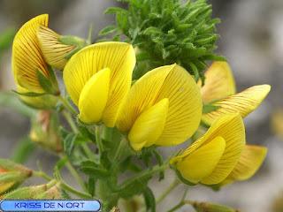 Bugrane jaune - Ononis natrix