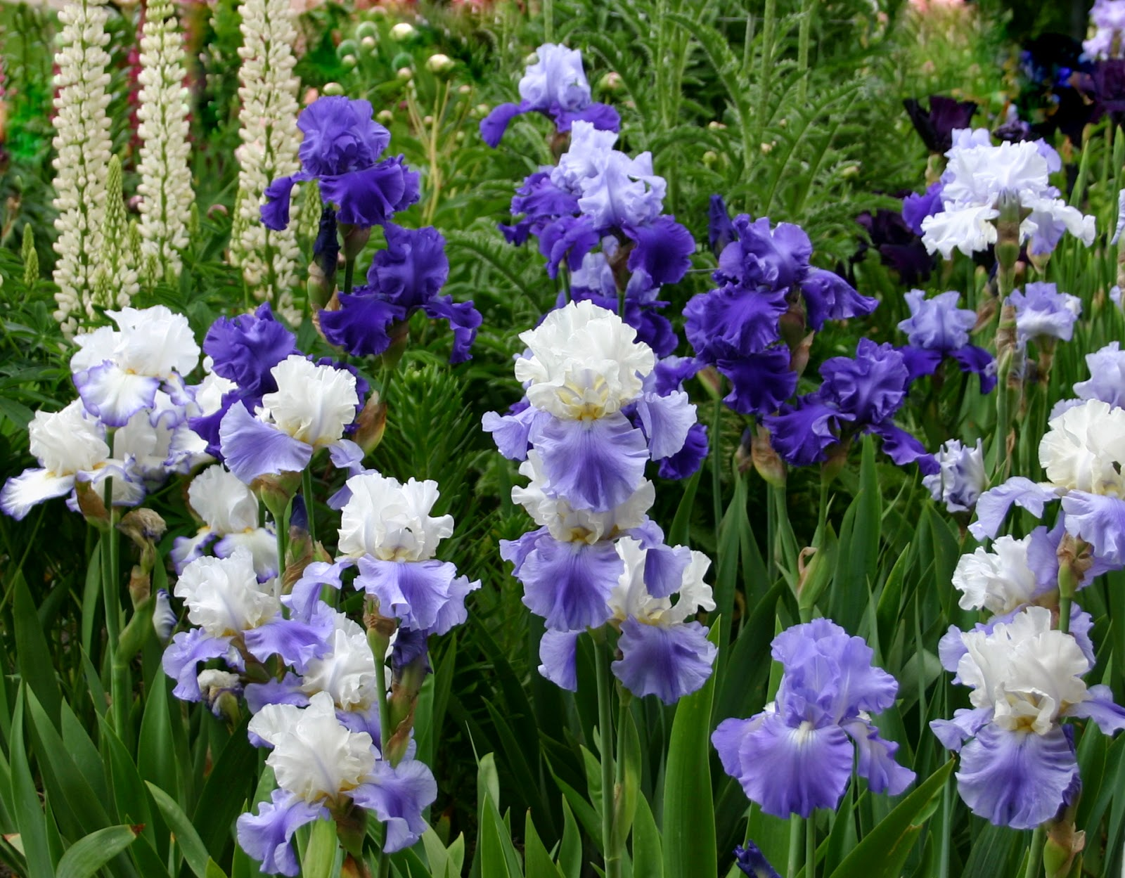 World of irises quot talking irises quot the blue iris garden