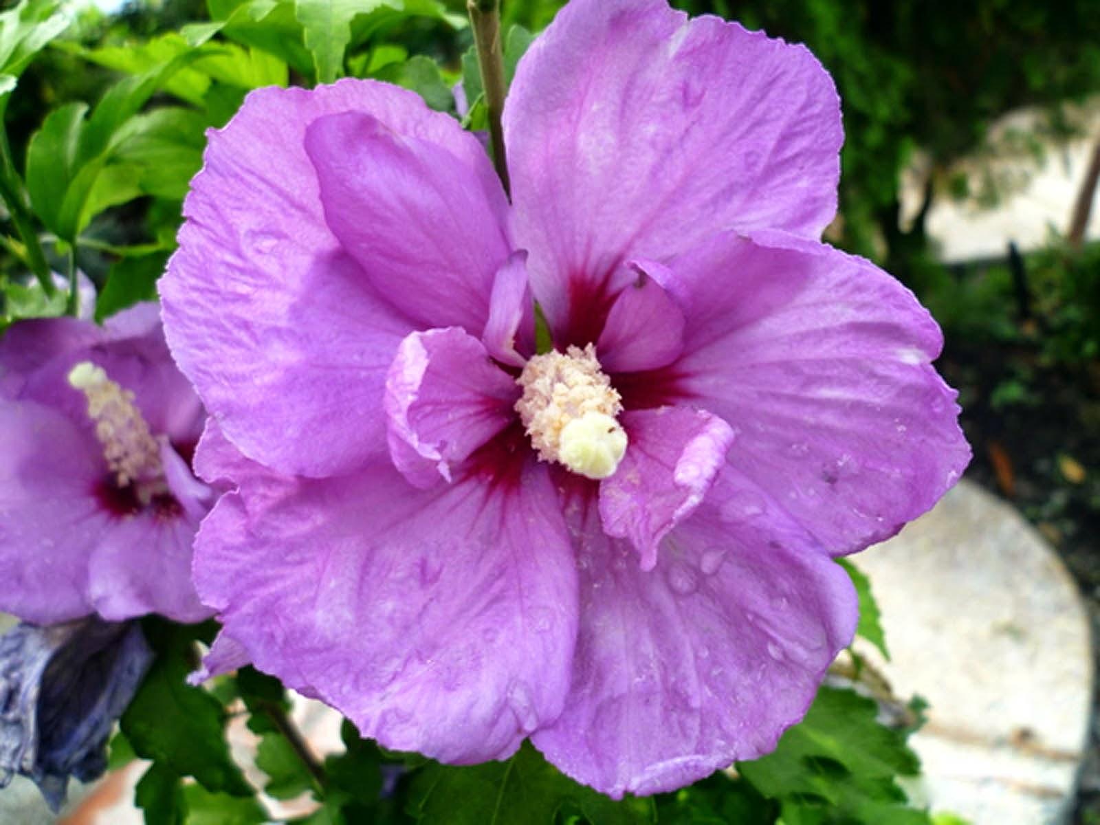Desktop Wallpapers Purple Hibiscus Flowers Wallpapers