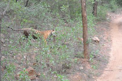 Pertarungan Hingga Mati, Harimau Melawan Macan Tutul