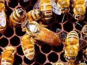 Foto de abejas almacenando miel representante de la apicultura