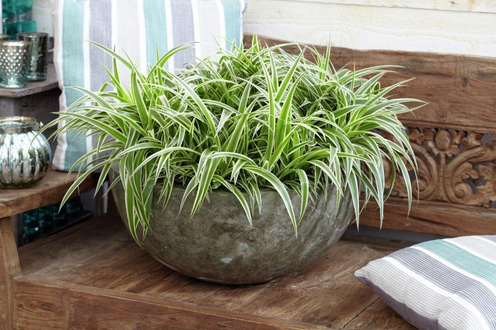 pokloni mi cvet chlorophytum comosum. Black Bedroom Furniture Sets. Home Design Ideas