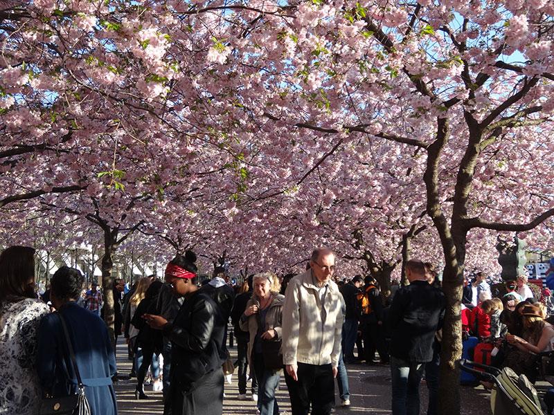 Kungstradgården_Cherry_Blossom